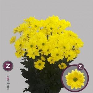 Хризантема желтая CELEBRATE