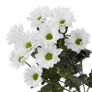 Хризантема белая BACARDI