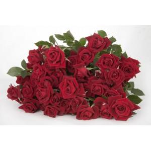Роза кустовая №3 50см и 60см