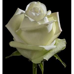 Роза поштучно ALBA