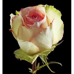 Роза поштучно ESPERANCE
