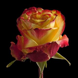 Роза поштучно HIGH-YELLOW- MAGIC-FLAME