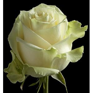 Роза поштучно MONDIAL