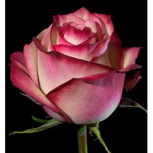 Роза поштучно PALOMA