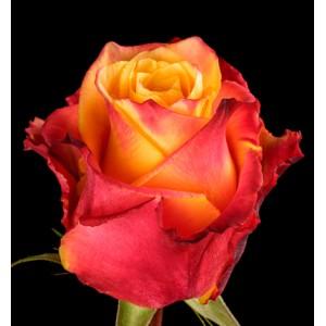 Роза поштучно SILANTOI