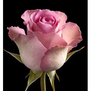 Роза поштучно SWEET-UNIGUE